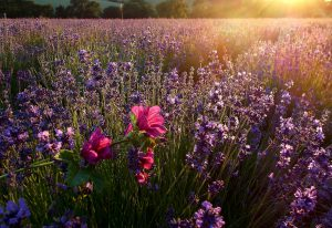 lavender-3118882_1280